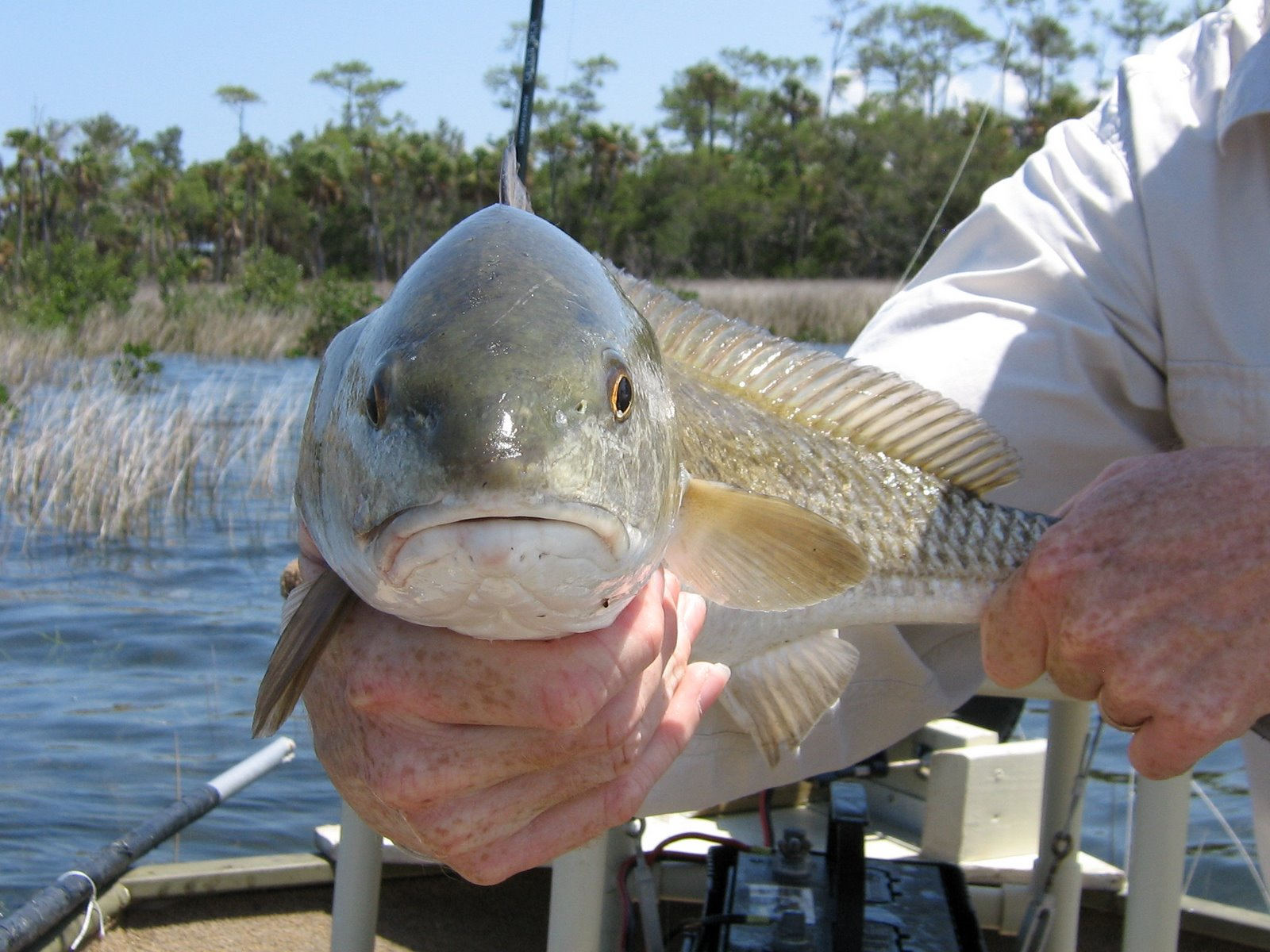 Red drum fish for Red drum fishing